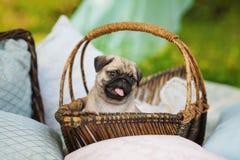Härlig mopshundvalp i en korg utomhus på sommardag Arkivfoton