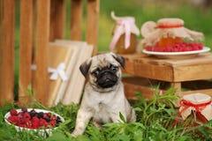 Härlig mopshundvalp utomhus på sommardag Arkivfoto