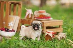 Härlig mopshundvalp utomhus på sommardag Royaltyfri Bild