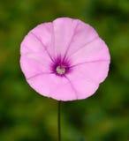 Härlig morgonhärlighet för lös blomma Arkivfoton