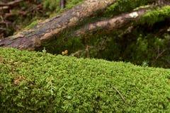 Härlig mossaskog av platån, Japan Arkivbilder