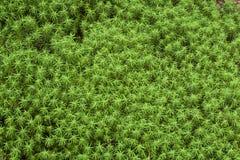 Härlig mossaskog av platån, Japan Arkivbild