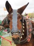 Härlig mula som är klar för arbete, genom att dra vagnen royaltyfri bild