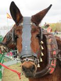 Härlig mula som är klar för arbete, genom att dra vagnen royaltyfria bilder