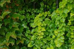 Härlig murgröna som hänger från ett staket Arkivfoton