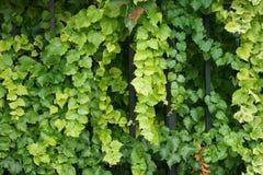 Härlig murgröna som hänger från ett staket 1 Royaltyfria Foton