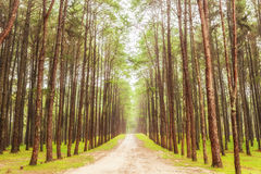 Härlig natur i den starka pinjeskogen Arkivfoto