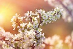 Härlig natur i våren, blomningfilial, träd - naturen väcker royaltyfria bilder