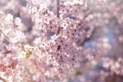Härlig natur i våren som blommar fruktträdet arkivbild