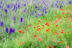 Härlig natur, sommartid Fält med purpurfärgade riddarsporreblommor och vallmo arkivfoton