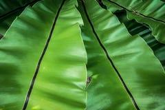 Härlig naturlig bakgrund med det tropiska gröna bladet Arkivfoto