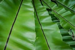 Härlig naturlig bakgrund med det tropiska gröna bladet Arkivfoton