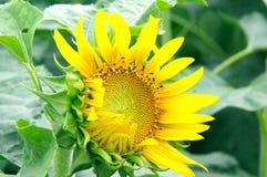 Härlig naturlig gul solros i trädgård arkivbild