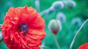 Härlig naturlig gulingros på morgonljus, djupt - grön bakgrund arkivfilmer