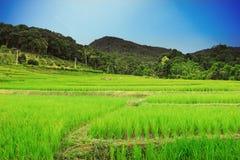 Härlig naturlig risfält med blå himmel Arkivbilder