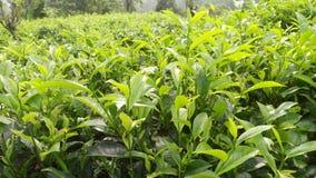 Härlig naturlig teväxt detta foto av Sri Lanka arkivfoton
