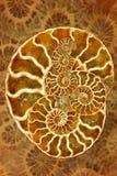 härlig nautilus Royaltyfri Fotografi
