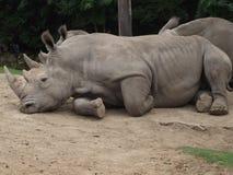 Härlig noshörning arkivfoton