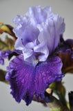 Härlig ny irisblomma med vattendroppar Arkivbild