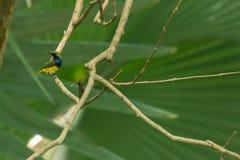 Härlig och älskvärd Oliv-dragen tillbaka sunbird royaltyfri bild