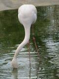 Härlig och behagfull flamingofågel som går nära sjön i zoo av Erfurt Fotografering för Bildbyråer