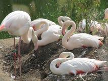 Härlig och behagfull flamingofågel som går nära sjön i zoo av Erfurt Royaltyfria Bilder