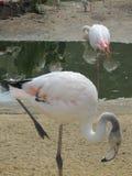 Härlig och behagfull flamingofågel som går nära sjön i zoo av Erfurt Royaltyfri Fotografi