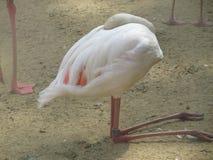 Härlig och behagfull flamingofågel som går nära sjön i zoo av Erfurt Arkivfoton