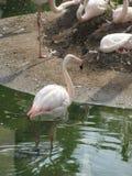 Härlig och behagfull flamingofågel som går nära sjön i zoo av Erfurt Arkivbild
