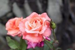 H?rlig och f?rgrik rosa ros arkivbild