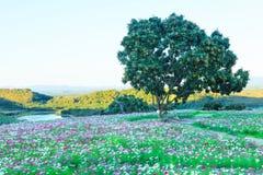 Härlig och färgrik sikt av det naturliga fältet för lösa blommor för sommarkosmos i bakgrund för bergsjölandskap Kosmosbipinnatus royaltyfria bilder