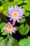 Härlig och färgrika violetta rosa färger waterlily eller lotusblommablomma arkivbilder