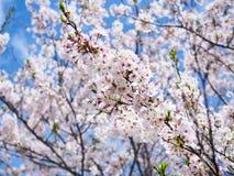 Härlig och för colorfull körsbärsröd blomning, sakura Arkivfoto