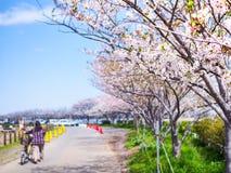 Härlig och för colorfull körsbärsröd blomning, sakura Arkivbild