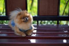 Härlig och fluffig pomeranian hund Hund på bänken i en parkera Pomeranian på en gå Royaltyfria Bilder