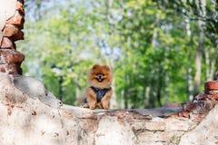 Härlig och fluffig pomeranian hund Hund på bänken i en parkera Pomeranian på en gå Arkivfoto