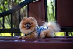 Härlig och fluffig pomeranian hund Hund på bänken i en parkera Pomeranian på en gå Royaltyfri Bild