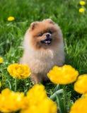 Härlig och fluffig pomeranian hund Hund på bänken i en parkera Pomeranian på en gå Arkivbild