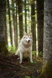 Härlig och fri Siberian skrovlig hund som sitter i skogen på den guld- solnedgången i vår arkivbilder