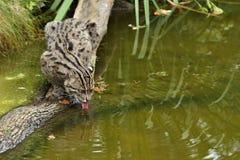 Härlig och gäckande fiskekatt i det near vattnet för naturlivsmiljö Arkivfoto
