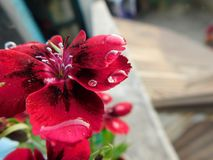 Härlig och gullig röd trädgårdblomma med små åtskilliga vattensmå droppar arkivfoto