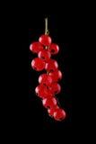 Härlig och ljus röd vinbär för närbild på svart bakgrund Saftig och ny röd vinbär på svart bakgrund aktuell red Arkivbild