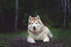 H?rlig och lycklig Siberian skrovlig hund som ligger i den m?rka skogen p? solnedg?ngen i v?r royaltyfri bild