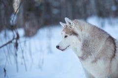 Härlig och lycklig siberian skrovlig hund som sitter på det insnöat den felika vinterskognärbilden för ståendeprofil för bakgrund royaltyfri bild