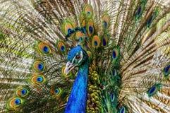 Härlig och majestätisk påfågel Royaltyfri Bild