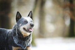 Härlig och rolig australisk herde för nötkreaturhundvalp som väntar I arkivfoton