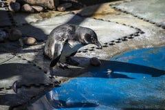 Härlig och rolig pingvinsol i en jämlikegrupp Arkivfoton