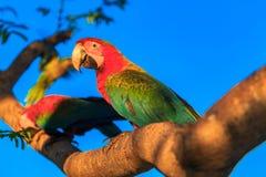 Härlig och scharlakansröd arapapegoja för colorfull under en blå himmel Arkivbild