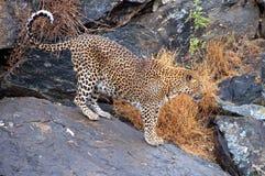 Härlig och stolt leopard i Namibia royaltyfria bilder