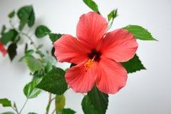 Härlig och stor blomma av den röda hibiskusen royaltyfria foton
